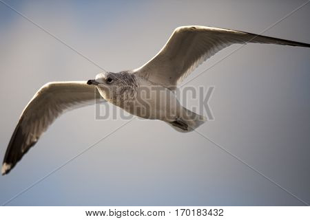 Seabird flying in movement with cloudy sky background