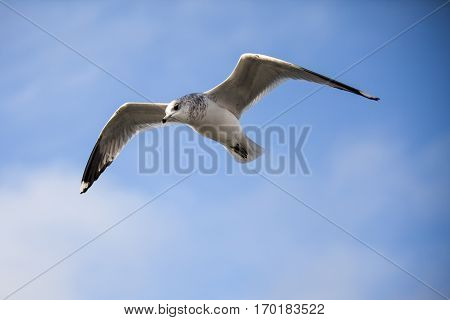 Seabird flying in movement with blue sky background