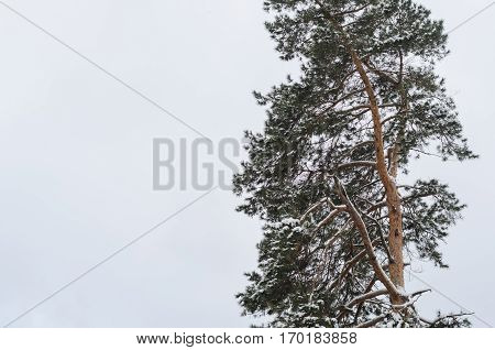 Lonely pine tree in winter and overcast sky copy space