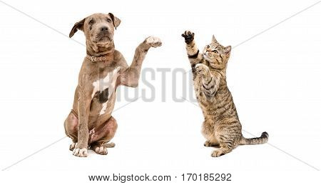 Playful puppy pit bull and a  cat, isolated on white background