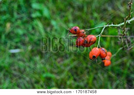 Closeup of red dogrose berries on background of green grass