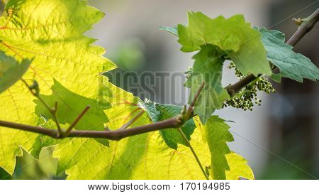 Young Grapes Forming
