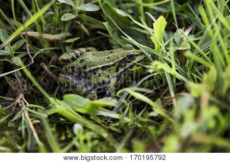 Green frog or toad in the grass