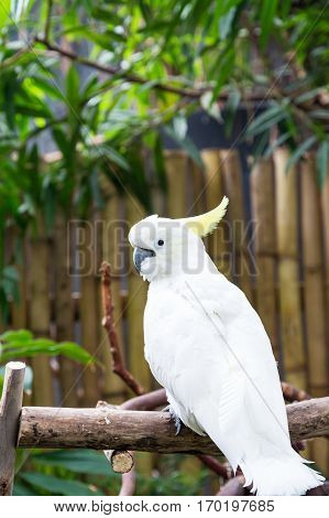 A White Cockatoo Posing in a Perch