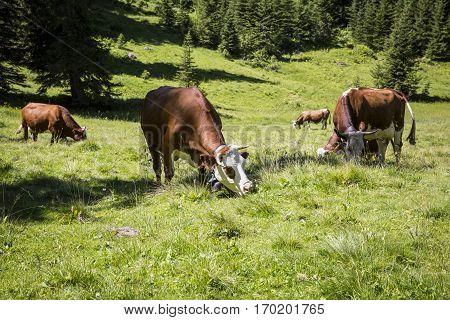 cows grazing in bucolic green summer alpine meadow Swiss Alps mountain massif canton du Valais Switzerland