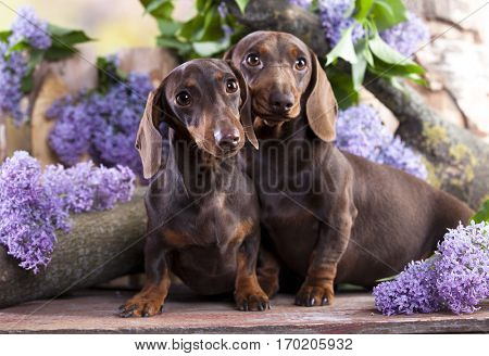 Dachshund in lilac colors