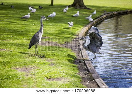 Courtship display of a couple of great blue herons in the park