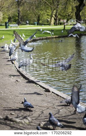 Great Blue Heron (Ardea herodias) surrpunded by pigeons flying around in the park