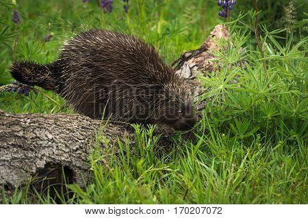 Porcupine (Erethizon dorsatum) Steps Off Log - captive animal