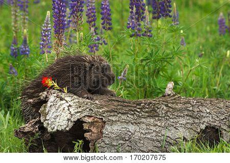 Porcupine (Erethizon dorsatum) Clings to Side of Log - captive animal
