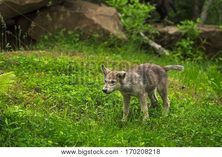 Grey Wolf (Canis lupus) Pup Shakes Off - captive animal