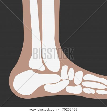 vector human Foot Bones joint side view