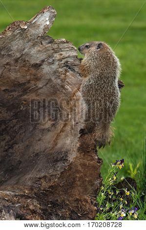 Young Woodchuck (Marmota monax) Clings to Side of Log - captive animal