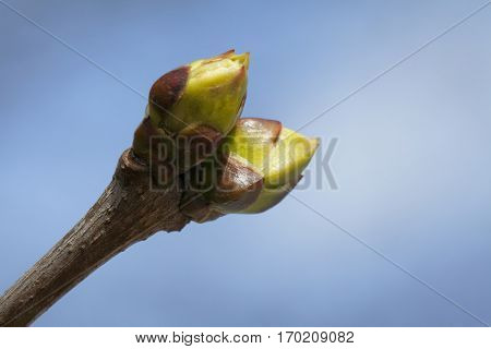 The close-up of tree buds in the spring