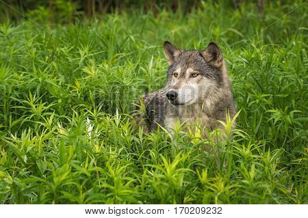 Grey Wolf (Canis lupus) Looks Out from Tall Grasses - captive animal