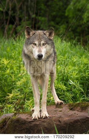 Grey Wolf (Canis lupus) Looks Straight Out from Rock - captive animal