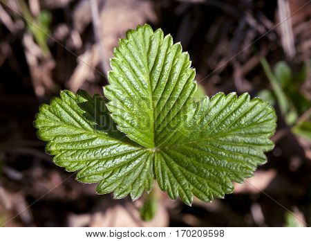 Wild strawberry leaves in a forest in spring
