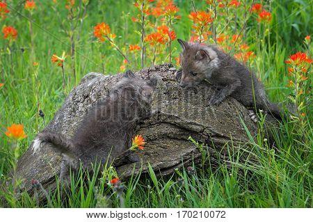 Two Red Fox (Vulpes vulpes) Climb Atop Log - captive animals