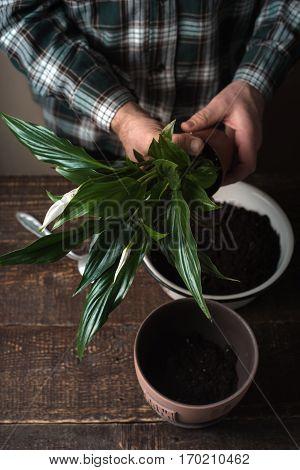 Man transplant a flower Spathiphyllum in flower pot vertical