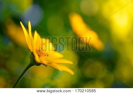 Bright Yellow Daisy Flower. Floral Image with Shallow Focus.