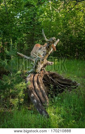 Adult Female Cougar (Puma concolor) Crouches On Root Bundle - captive animal