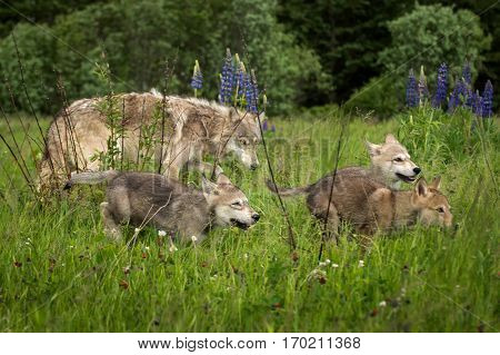 Grey Wolf (Canis lupus) Pups Run Through Field - captive animals
