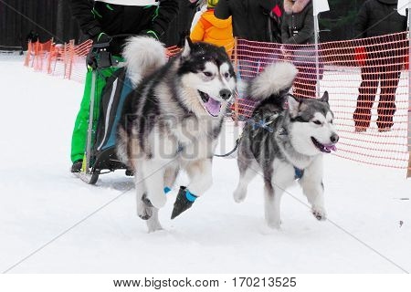 Dog sports sled race, team of sled dogs running fast in competition mushers on sleds. A pair of Huskies in the championship.