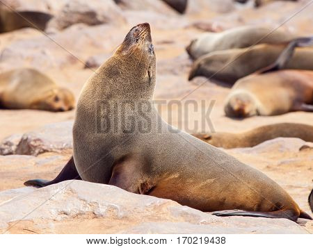 Close-up view of brown fur seal, Cape Cross Colony, Skeleton Coast, Namibia, Africa.
