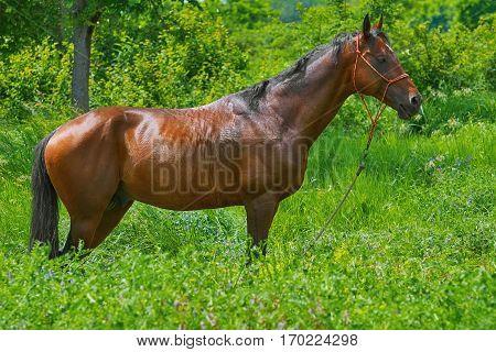 Chestnut Horse Stends in the Green Grass