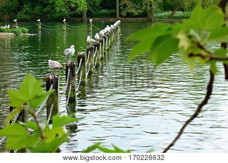 Gulls sitting on stilts in a pond in the park.