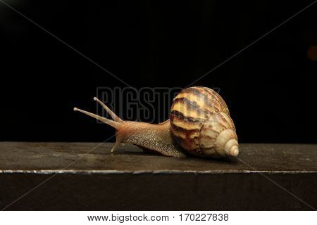 Close-up low angle view of Roman snail (Helix pomatia) isolated on black background