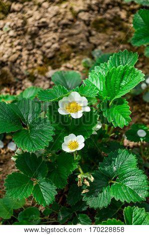 Strawberries flowers in a garden, summer time