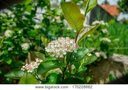 Aronia blossom, beautiful spring time, in a garden