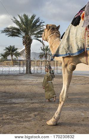Muscat Oman February 4th 2017: young omani boy in traditional clothing walking with a camel