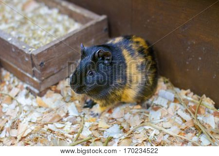 Image small pet guinea pig in a cage
