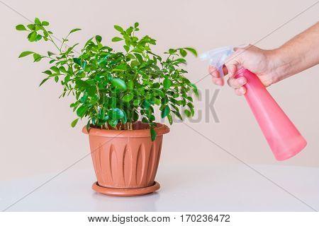 Hydration Foliage Home Plants With A Sprayer