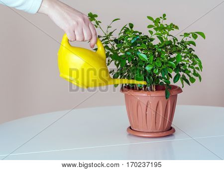 Woman Watering Potted Plant Out Of Yellow Watering Can