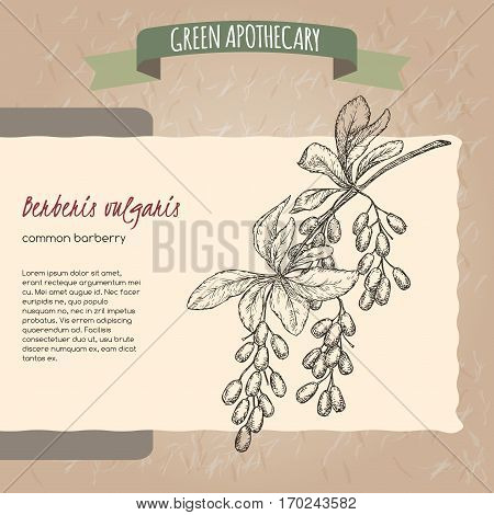 Berberis vulgaris aka common barberry sketch. Green apothecary series. Great for traditional medicine, gardening or cooking design.