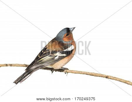 bird Chaffinch sitting in the Park on a branch on white isolated background