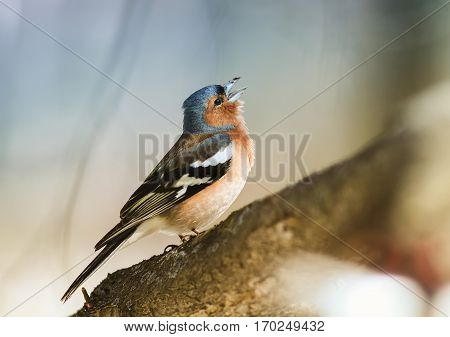 bird Chaffinch sings a sonorous song tree-spring in the woods