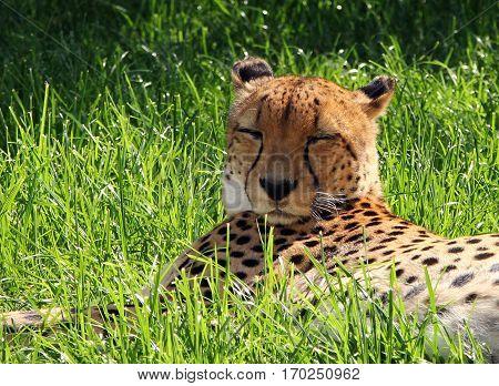 Male Asiatic Cheetah (acinonyx Jubatus Venaticus) Resting On The Ground