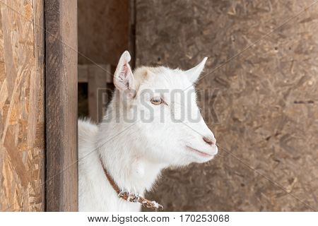 One white cute goat is in a barn