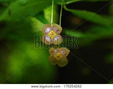 Little flowers of Euonymus verrucosus or spindle tree