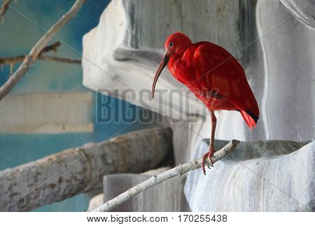 Scarlet ibis (Eudocimus ruber) - national bird of Trinidad