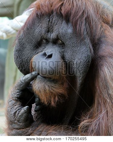 Portrait of adult male orangutan in the zoo