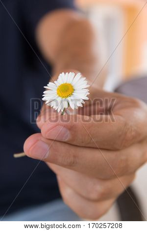 Hand gives a small camomile or daisy flower as a romantic gift. Summer morning in the country village.