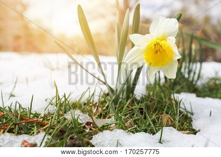 Daffodils yellow flowers in late spring snow