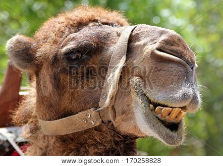 Portrait of a smiling camel on green background