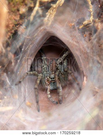 Tarantula at the entrance to its burrow