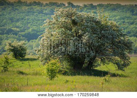 flowering hawthorn tree in the meadow spring landscape
